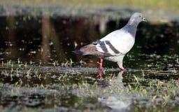 Pigeon sur l'eau Image libre de droits