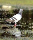 Pigeon sur l'eau Image stock