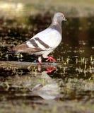 Pigeon sur l'eau Photos stock