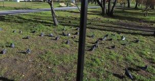 Pigeon sur l'herbe clips vidéos