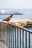 Pigeon sur la balustrade photo stock