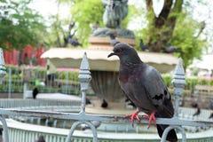 Pigeon sur la barrière Image libre de droits