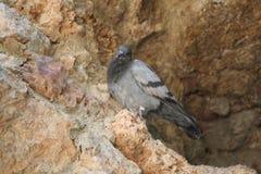 Pigeon sur la côte de stown photos libres de droits