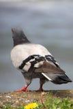 Pigeon sur la côte, pigeon coloré Photos libres de droits