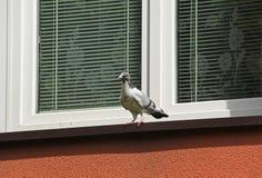 Pigeon sur la fenêtre Photos libres de droits