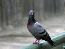 Pigeon sur la pêche à la traîne Photo libre de droits