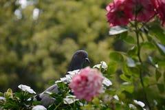 Pigeon sur le balcon Photos stock