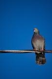 Pigeon sur le fil Images stock