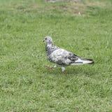 Pigeon sur le fond d'herbe verte Image stock