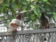Pigeon sur le mur images libres de droits
