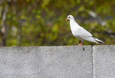 Pigeon sur le mur Photos stock