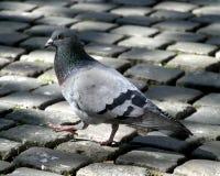 Pigeon sur le pavé rond Image libre de droits