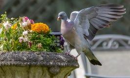 Pigeon sur le planteur Photos stock