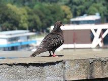 Pigeon sur le pont Images libres de droits