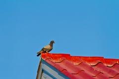 Pigeon sur le toit Photo stock