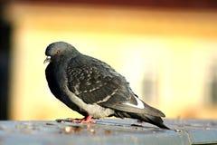 Pigeon sur le toit Photographie stock libre de droits