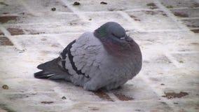 Pigeon sur le trottoir banque de vidéos