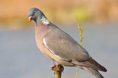 Pigeon sur un branchement Photo stock