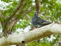 Pigeon sur un branchement d'arbre Photographie stock