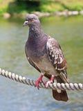 Pigeon sur un cordon images libres de droits