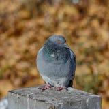 Pigeon sur un fond d'automne Photo stock