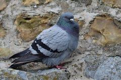 Pigeon sur un mur Images libres de droits