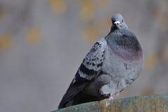 Pigeon sur un mur Images stock