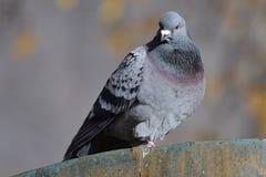 Pigeon sur un mur Photo stock