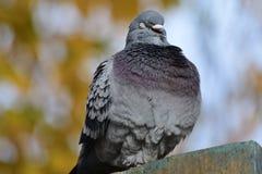 Pigeon sur un mur Photographie stock