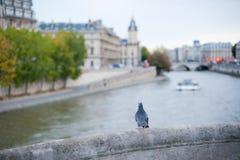 Pigeon sur un pont avec la seine de rivière à l'arrière-plan à Paris Images libres de droits