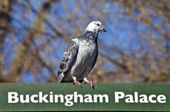 Pigeon sur un poteau indicateur à Londres photo stock
