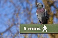 Pigeon sur un poteau indicateur piétonnier à Londres photos libres de droits