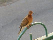 Pigeon sur une barrière Photo stock