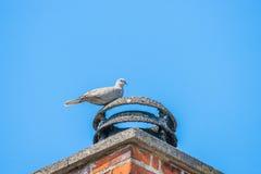 Pigeon sur une cheminée bricked image stock
