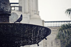Pigeon sur une fontaine Photos stock