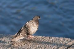 Pigeon sur une pierre Images libres de droits