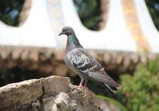 Pigeon sur une pierre Photo libre de droits