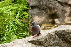 Pigeon sur une roche Image stock