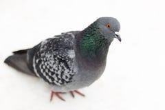 Pigeon. Stock Photos