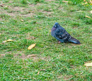 Pigeon surrounded by grass Royalty Free Stock Image