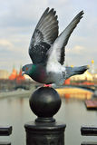 Pigeon, symbol of peace, against  Moscow Kremlin b Stock Images