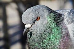 Pigeon, symbol of saint bond Stock Photography