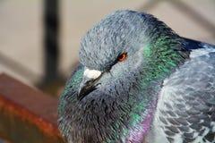 Pigeon, symbole de bonnes actualités Image stock