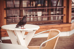 Pigeon on a table in street cafe Stock Photo