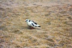 Pigeon tacheté Photographie stock