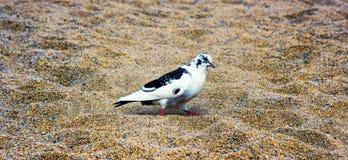 Pigeon tacheté Images stock