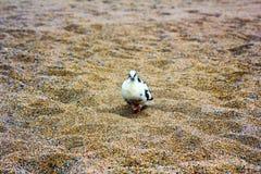 Pigeon tacheté Photographie stock libre de droits