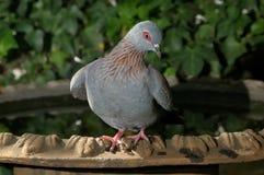 Pigeon tacheté photos stock