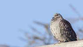 Pigeon tacheté sur le toit photographie stock libre de droits