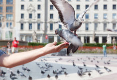 Pigeon takes food Royalty Free Stock Photos